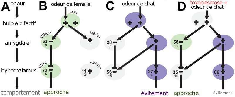 En A, la chaîne simplifiée de l'induction d'un comportement d'approche ou d'évitement chez le rat. Chez le rat sain, deux voies différentes (B et C) produisent deux réactions opposées, appropriées aux stimuli. Chez le rat parasité (D), la réaction normale d'évitement liée à l'odeur de chat est court-circuitée et masquée par l'activation anormale des zones responsables de l'attirance sexuelle. Les valeurs indiquées sont les données brutes de l'étude. © House et al. Plos One/traduction Futura-Sciences