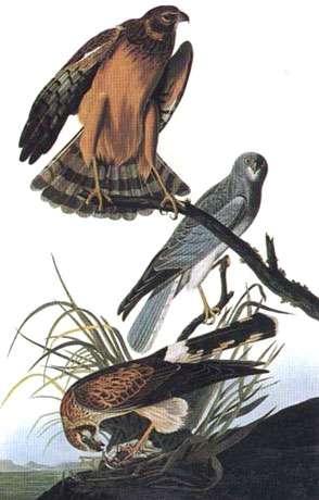 Busard Saint-Martin. Les images de J.-J. Audubon sont des témoignages précieux de l'observation de la nature (voir bibliographie). © Audubon, reproduction et utilisation interdites