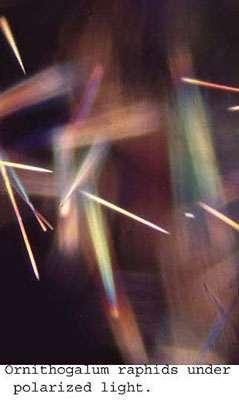Raphides (cristaux intracellulaires) en lumière polarisée. © DR
