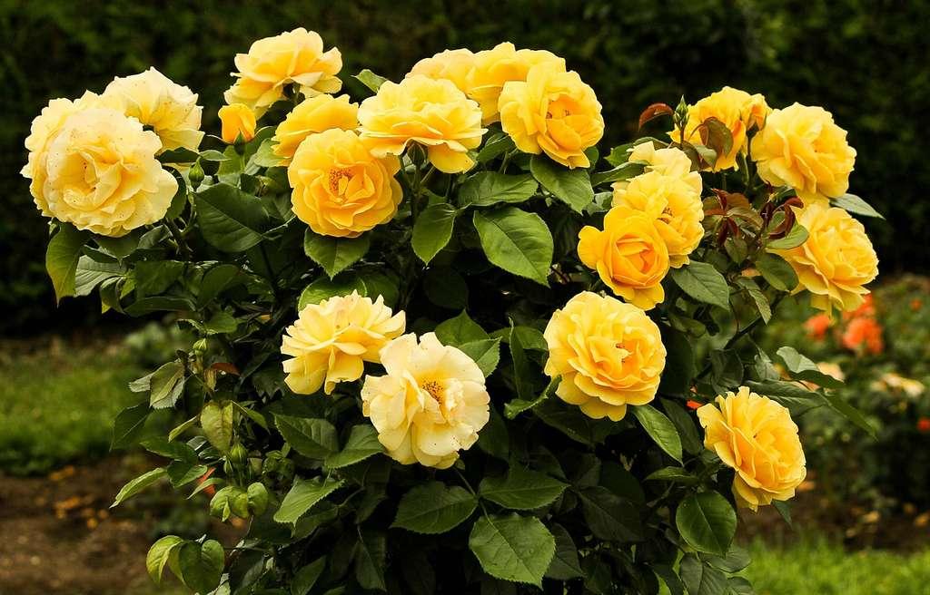 Rosier buisson jaune d'or. © James de Mers, Pixabay, Domaine Public