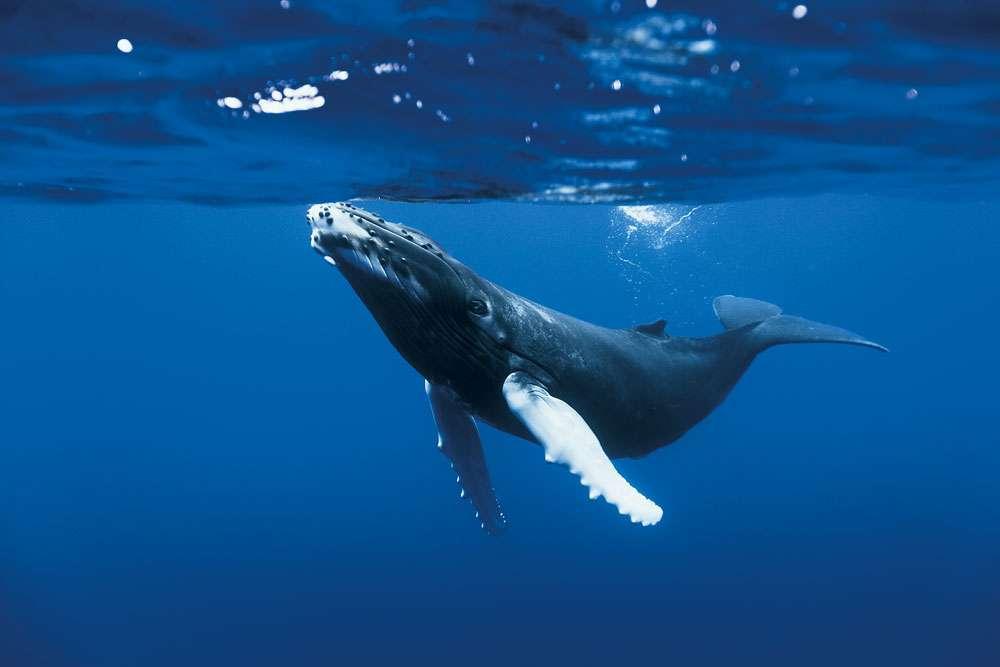 La baleine à bosse, un animal de taille