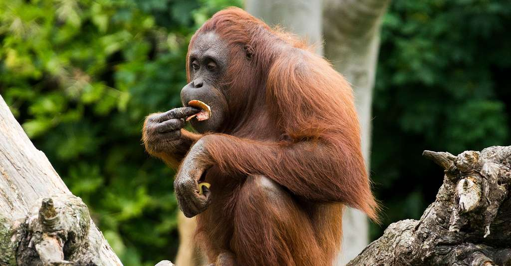 L'heure du déjeuner pour l'Orang Outang de Bornéo. © Miguel Mendez CC BY 2.0