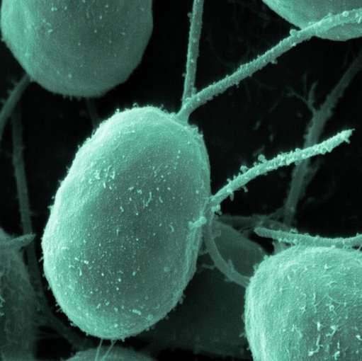 L'algue unicellulaire Chlamydomonas reinhardtii synthétise des grains d'amidon et pourrait permettre de fabriquer facilement des vaccins. © www.biologypictures.net