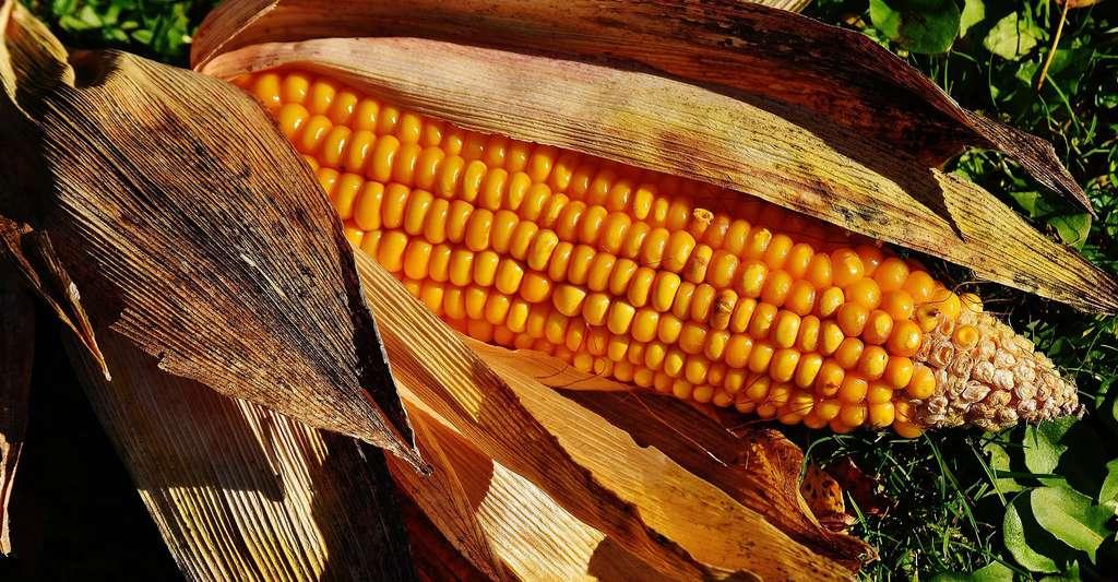 Comment obtenir une plante transgénique ? Ici, un épi de maïs. © AlexasFotos, DP