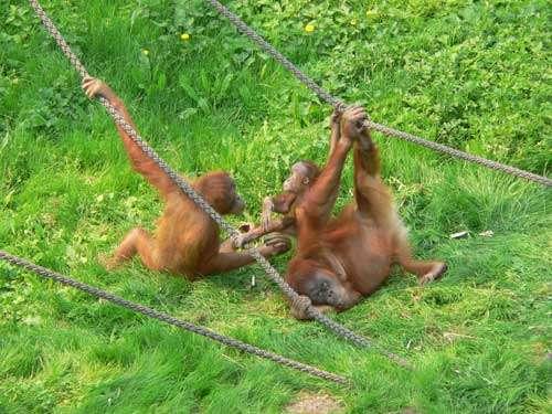 Jeu social chez des orang-outangs . © Marie Pelè - Reproduction et utilisation interdites