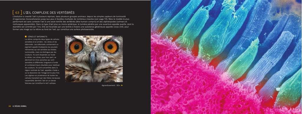 La rétine comporte des cônes et des bâtonnets qui traitent la luminosité et les couleurs. © Giles Sparrow/Dunod