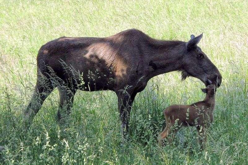Élan femelle et son petit. © Oliver Abels - GNU FDL Version 1.2