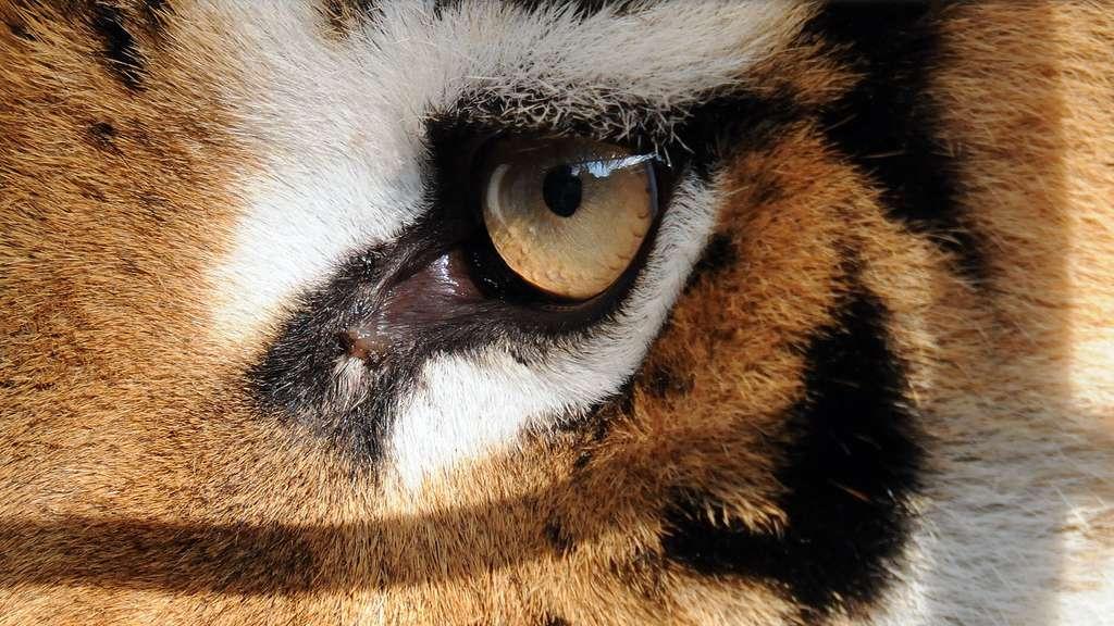 La vue sans faille du tigre