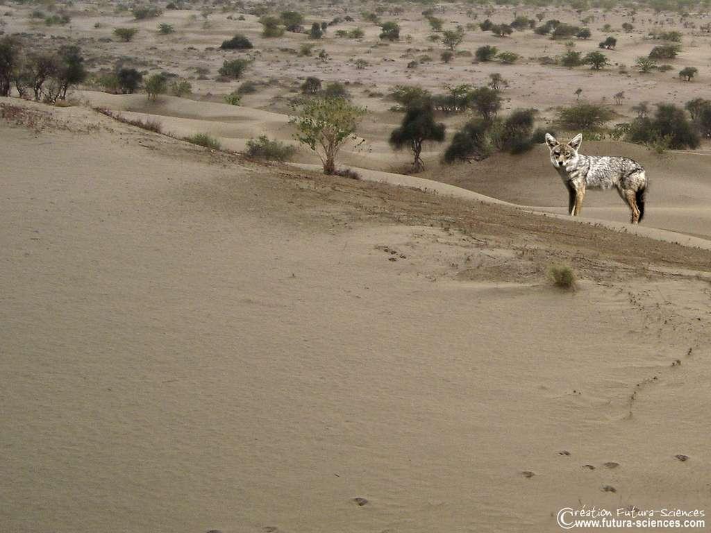 Désert, renard des sables