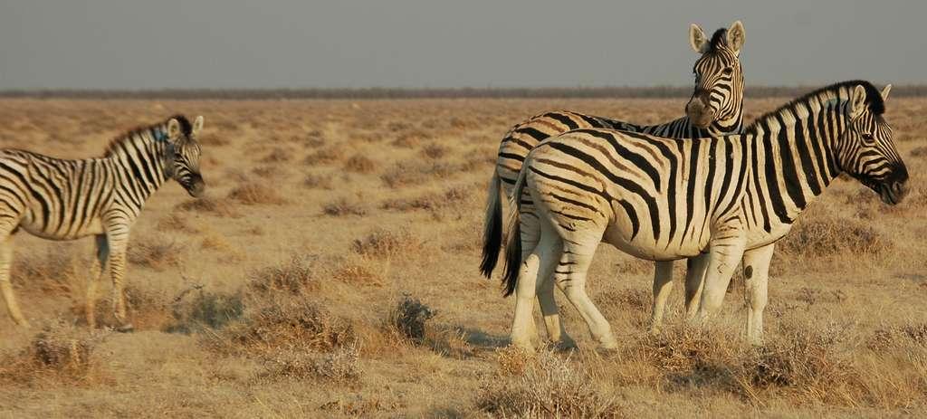 Parc Etosha, Namibie.© Patrick Giraud, Wikimedia Commons, by-sa 3.0
