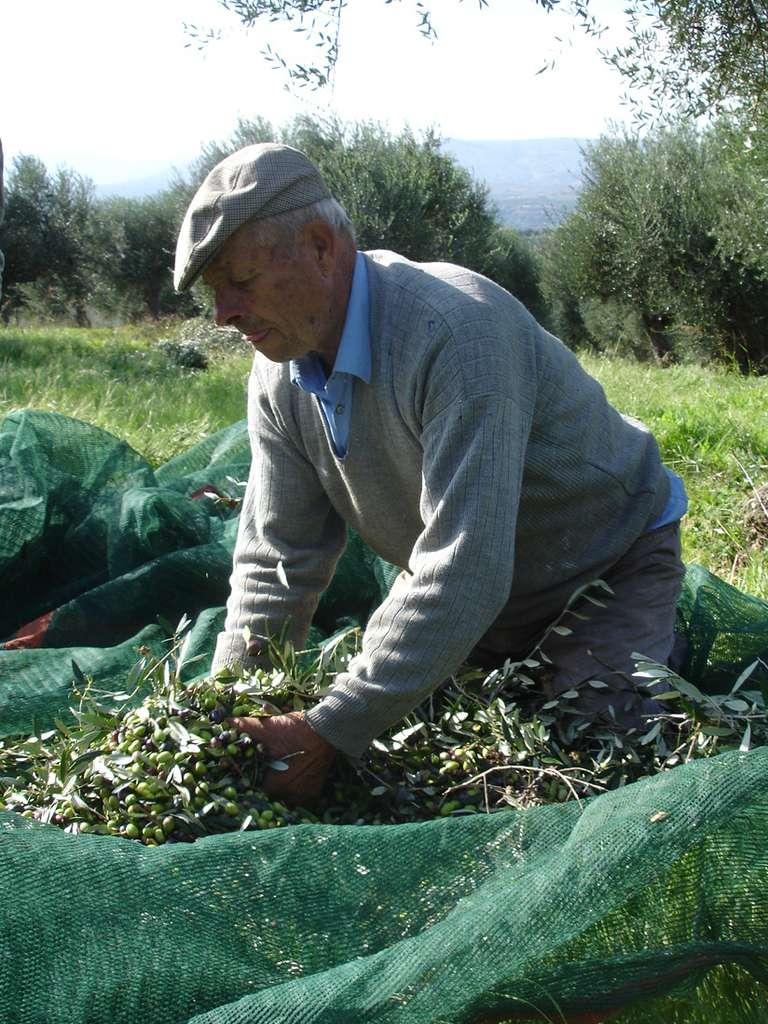 Récolte d'olive en Grèce. L'huile d'olive est un ingrédient clé du régime méditerranéen. © Ioannis Drinis
