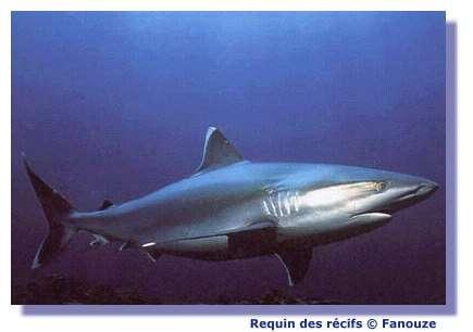 Le requin a une alimentation variée. © Fanouze