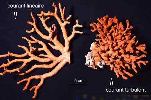 Figure 10b : le corail rouge se ramifie en éventail ou en buisson selon le mode de circulation de l'eau qui le nourrit. © J.-G. Harmelin, tous droits réservés, reproduction et utilisation interdites
