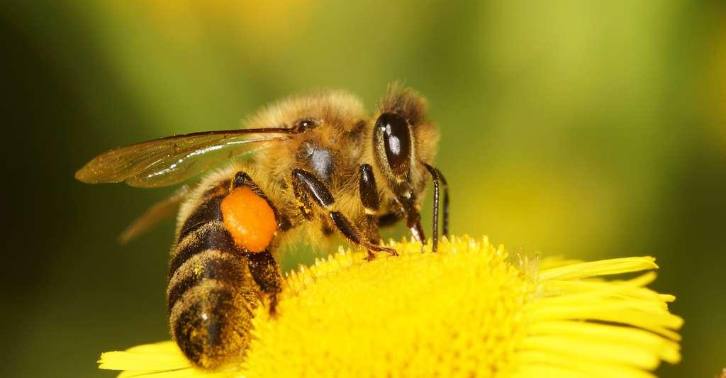 En cas de piqûre d'abeille, il faut retirer le dard délicatement sans le presser car la pression de la glande à venin située à l'extrémité provoquerait l'injection de tout le venin dans le corps de la personne piquée. © Maciej Olszewski, Shutterstock