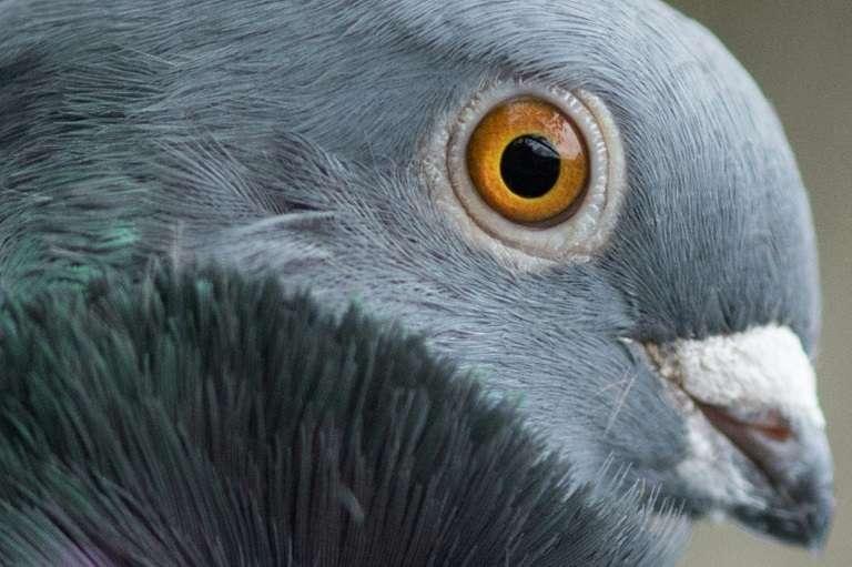 Un pigeon cravaté chinois le 21 novembre 2017 à Calbe, dans l'est de l'Allemagne. © Klaus-Dietmar Gabbert, dpa, AFP, archives
