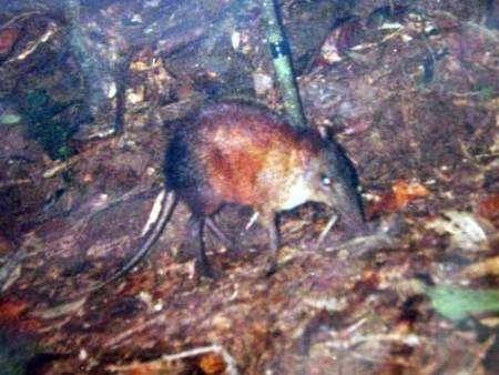 Une des premières images de la musaraigne-éléphant par caméra automatique. Photo: F. Rovero