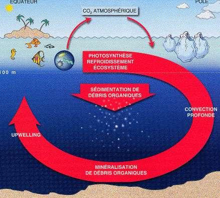 Figure 1. Représentation schématique de la circulation océanique et du cycle du carbone. © Extrait du hors série Les Humeurs de l'Océan du magazine Pour la Science, 1998 D'après Yves Dandonneau