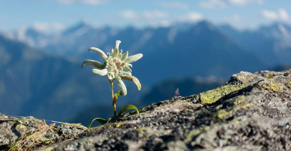 L'edelweiss (Leontopodium alpinum) est une plante rare et protégée. © by paul, Fotolia