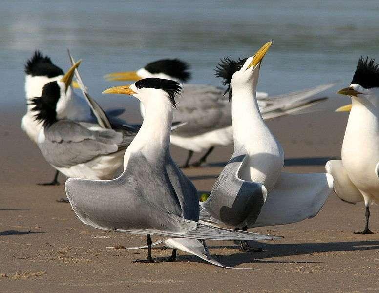 Groupe de sternes huppées paradant. © Glen Fergus, CC by-SA 2.5