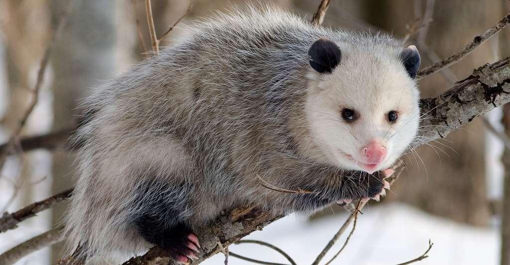 Opossum de Virginie en livrée d'hiver. © Cody Pope, CC by-sa 2.5
