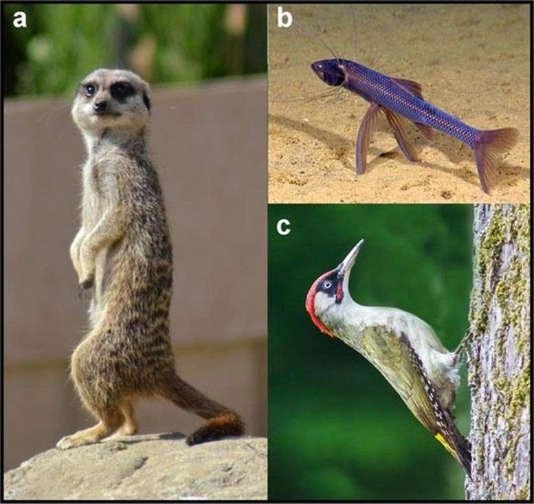 Quelques exemples d'animaux s'appuyant sur une troisième patte factice. © Tracy Thomson, BioEssays, Université de Californie