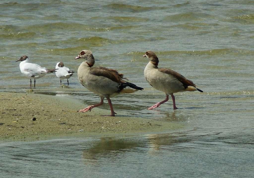Couple d'ouettes d'Égypte sur une plage néerlandaise. L'oiseau a été introduit notamment en Allemagne, en Belgique et au Royaume-Uni. © dnnya17, Flickr, cc by nc nd 2.0
