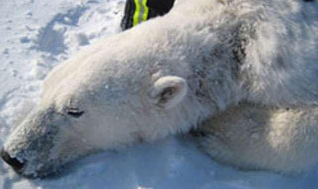 Un ours polaire endormi par une équipe de l'USGS et montrant les signes d'une maladie cutanée provoquant une alopécie partielle au niveau du cou. © USGS