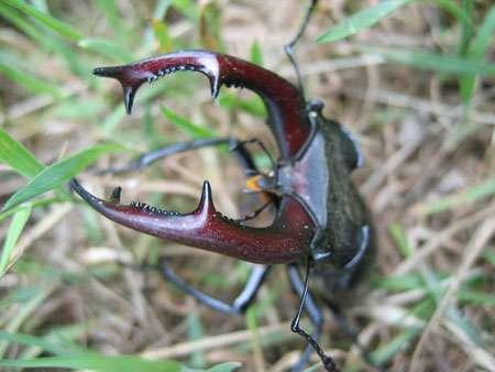 Lucane cerf-volant mâle (Lucanus cervus). © Magnus Manske licence Creative Commons paternité 1.0 générique