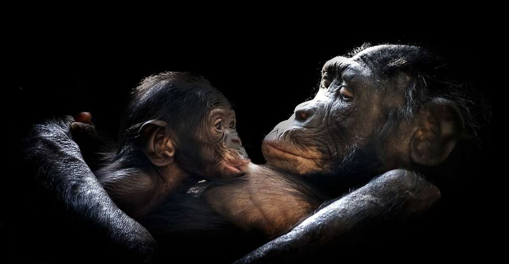 Livres sur les Hommes et les singes. Ici, femelle gorille et son petit. © GerMai, Pixabay, DP