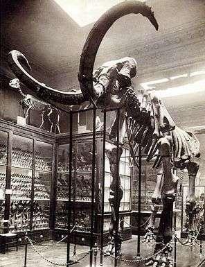 Le mammouth de Choulans, exposé dans la galerie du musée de Lyon en 1920.