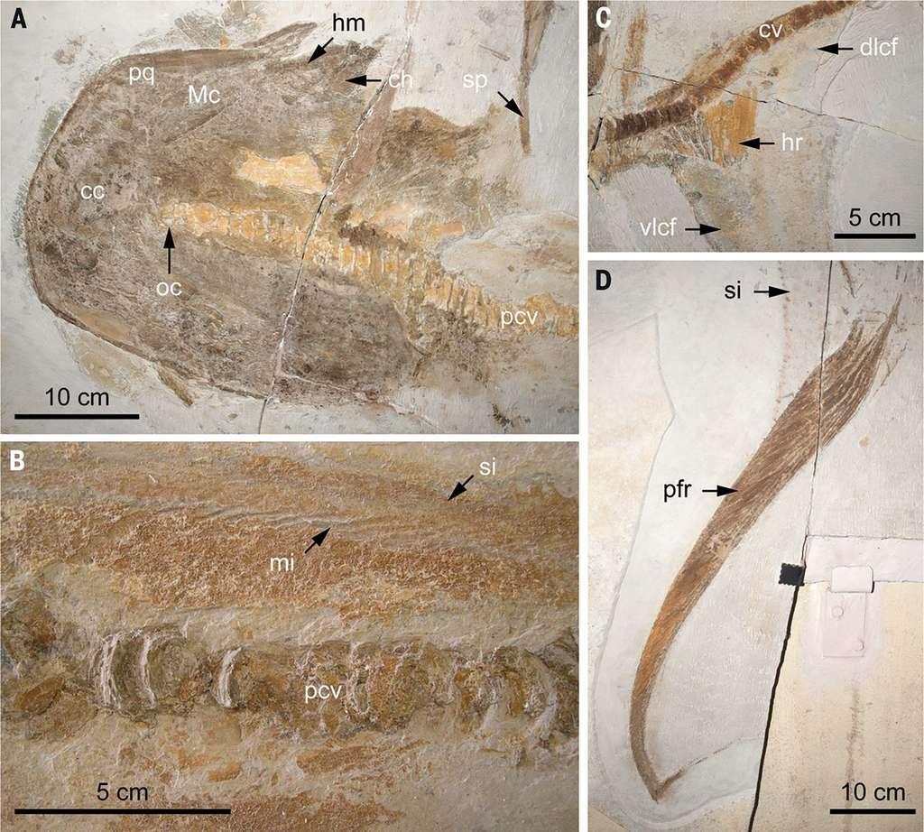 A. La tête ; B. Le tronc ; C. la région caudale et D. la nageoire pectorale gauche d'Aquilolamna milarcae fossilisé. © Romain Vullo et al. Science