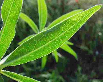 foto de La garance, un exemple de colorants végétaux : la plante et le ...