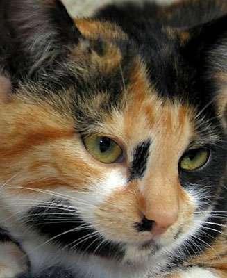 Le pelage tricolore de cette chatte, une particularité génétique.