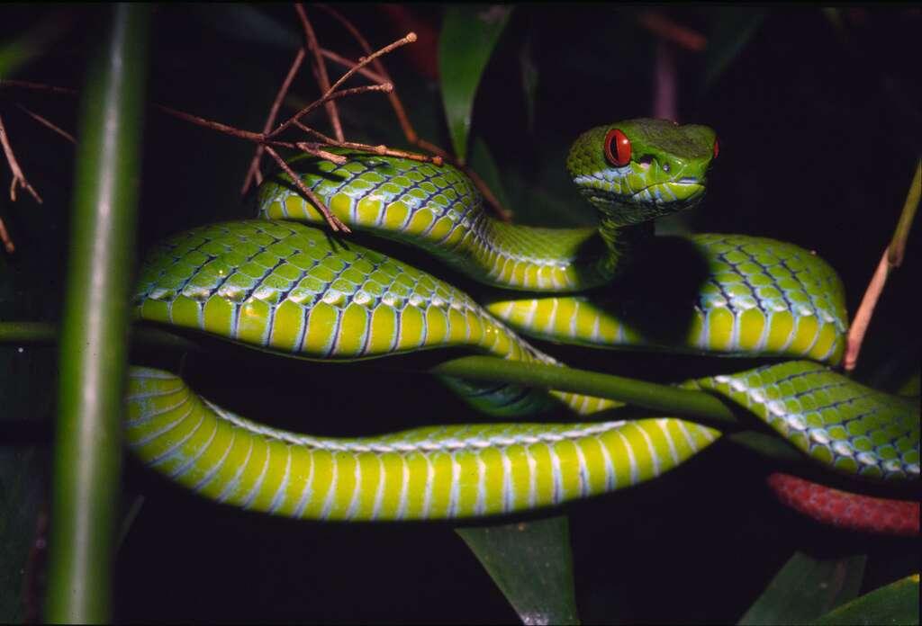 Une nouvelle espèce de serpent, la vipère verte aux yeux rubis (Trimeresurus rubeus) a été découverte dans les forêts près de Hô-Chi-Minh-Ville. © Peter Paul van Dijk / Darwin Initiative