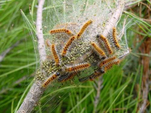Les chenilles processionnaires, un exemple d'espèce invasive. © DR