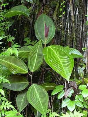 Miconia calvescens, jugée responsable dans l'accélération de l'érosion de certaines îles du Pacifique. © Libre de droit