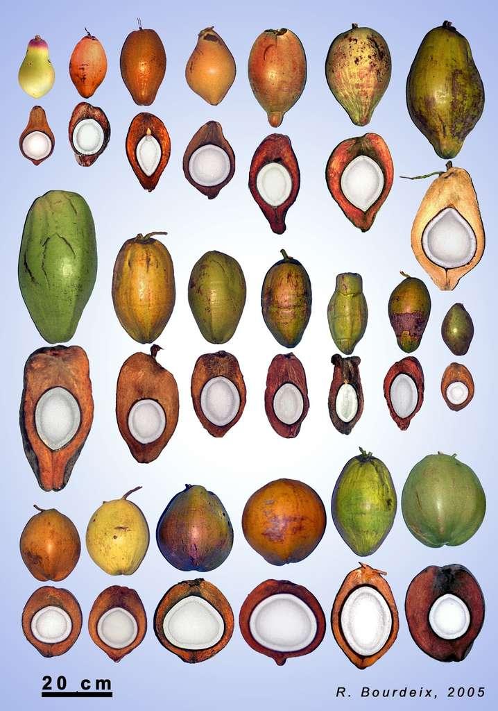 Quelques exemples de noix de coco. « La plupart des Européens qui voient cette photo pour la première fois ne reconnaissent pas le cocotier, car ils n'imaginent pas l'existence d'une telle diversité », indique le spécialiste de ce fruit, Roland Bourdeix. © R. Bourdeix