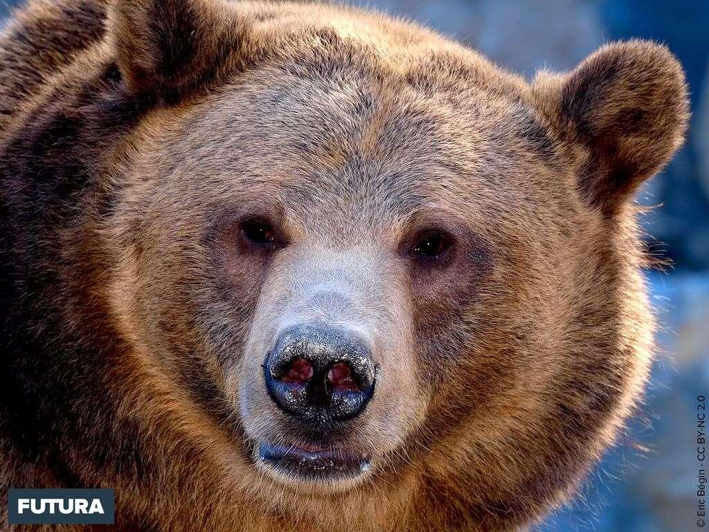 Grizzly Ursus arctos horribilis