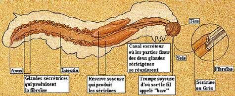 Anatomie de la chenille. © D'après P. Morin, Le prisonnier de soie
