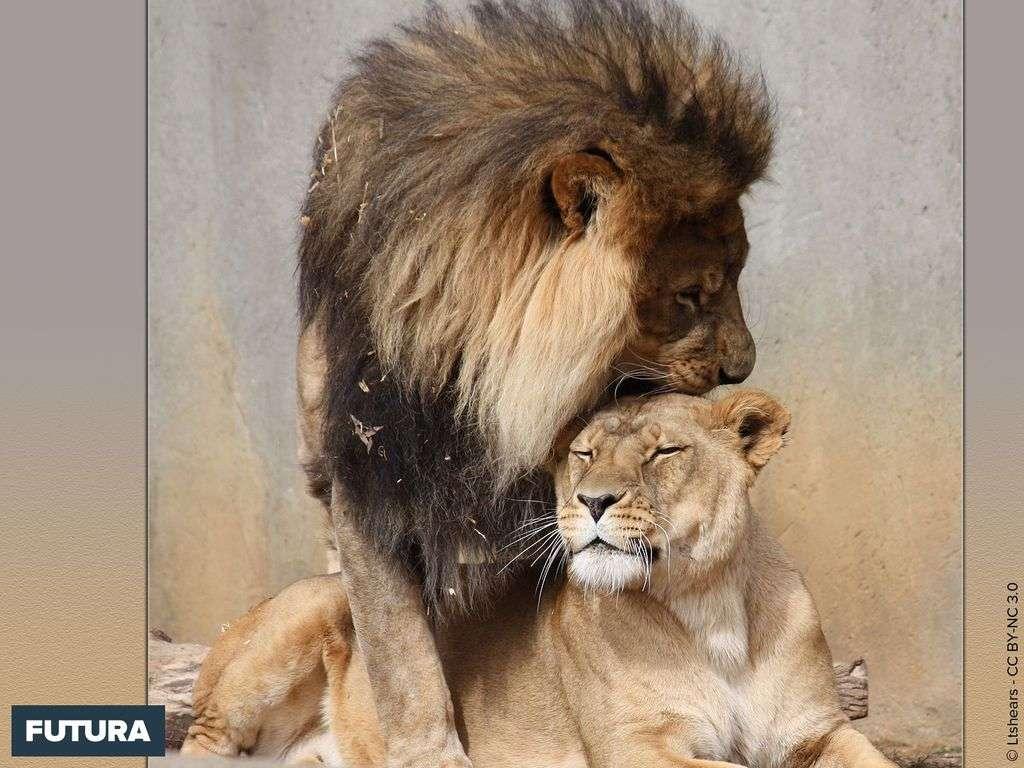 Fond Décran Lion Lionne Calins Du Matin