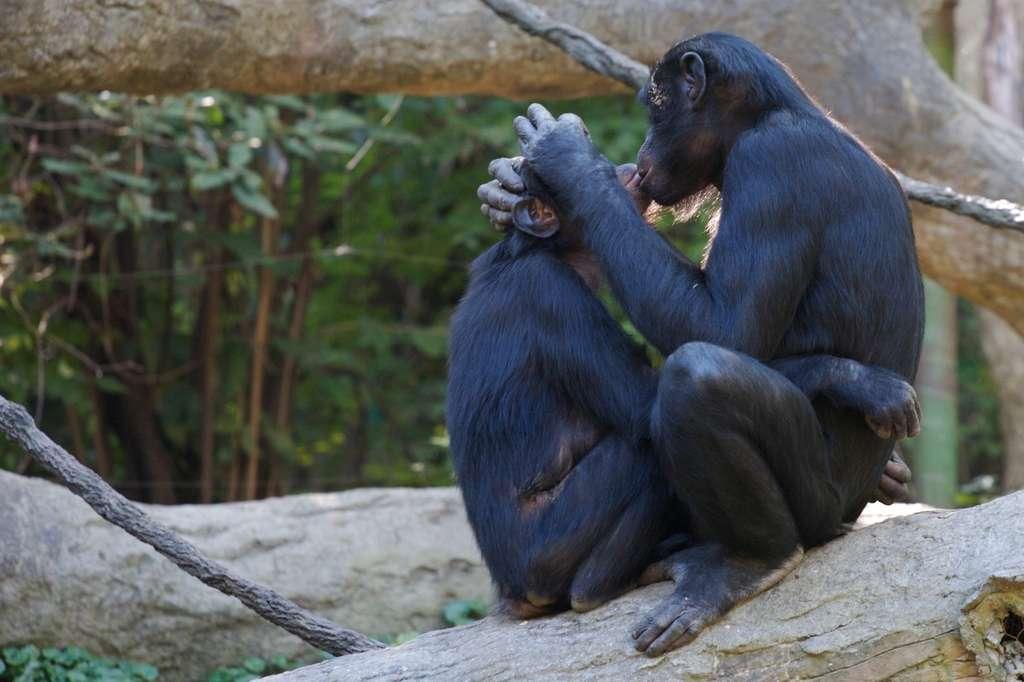 Bonobos : le sexe pour tisser les liens sociaux