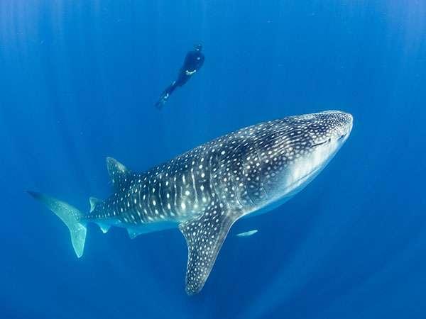 Stella Diamant en plongée près d'un requin-baleine. © Simon Pierce, tous droits réservés