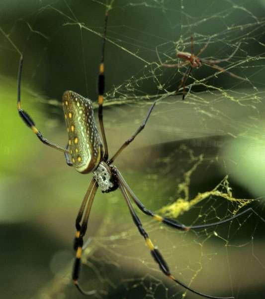 La néphile Nephila clavipes est connue pour fabriquer une toile d'araignée très résistante. © Sylvain Lefebvre et Marie-Anne Bertin
