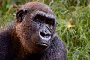 Un Gorille des plaines de l'ouest (Gorilla gorilla gorilla). © Thomas Stromberg CC by-nc-sa