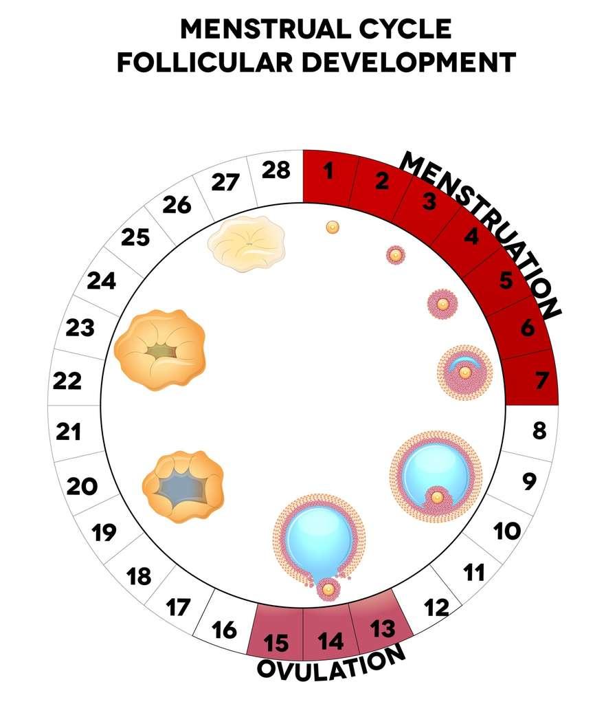 Au début du cycle ovarien, le nombre de cellules de la granulosa augmente autour de l'ovocyte. © reineg, Fotolia