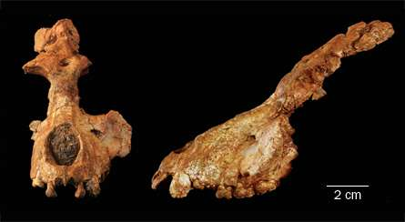Le crâne de Saadanius hijazensis, retrouvé en Arabie Saoudite, vu de face et de profil, comporte des caractéristiques qui correspondent à un ancêtre commun des singes et des hominoïdes. © I. Zalmout et W. Sanders / Nature