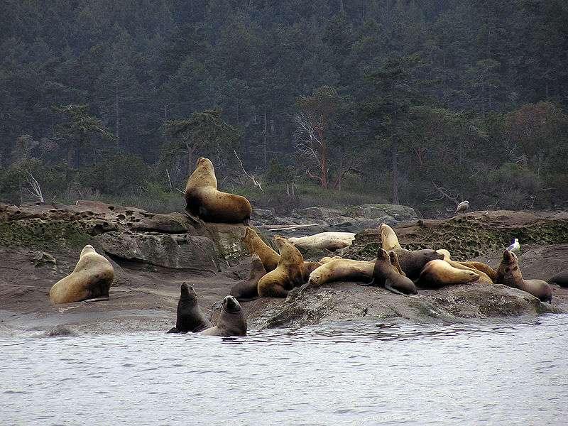 Lions de mer. © Yummifruitbat, CCA-SA 2.5 Generic license