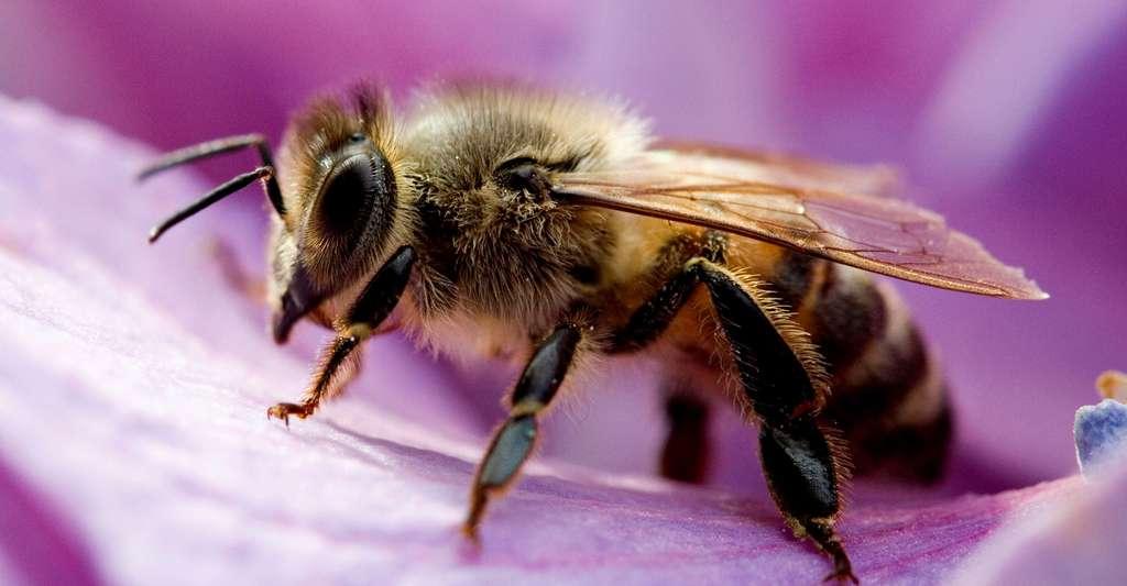 Une abeille butinant. © Umberto Salvagnin, CC by-nc 2.0