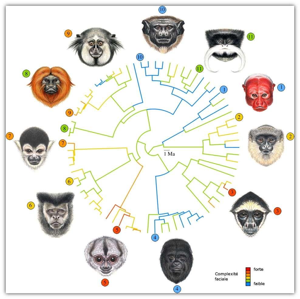 Arbre montrant la phylogénie des onze espèces de singes d'Amérique du Sud étudiées. La couleur des branches indique la complexité faciale. (1) Cacajao calvus, (2) Callicebus hoffmansi, (3) Ateles belzebuth, (4) Alouatta caraya, (5) Aotus trivirgatus, (6) Cebus nigritus, (7) Saimiri boliviensis, (8) Leontopithecus rosalia, (9) Callithrix kuhli, (10) Saguinus martinsi et (11) Saguinus imperator. © Santana et al. 2012, Proceedings of the Royal Society B - adaptation Futura-Sciences