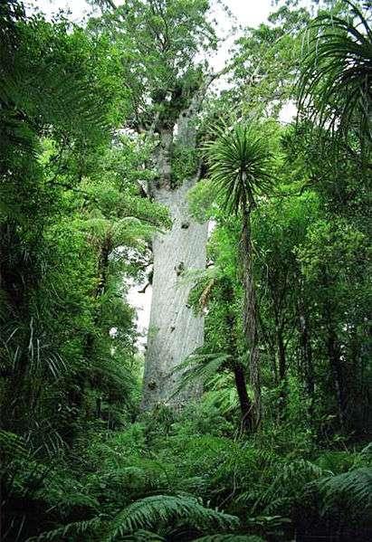 L'étude rapporte que les écosystèmes du Miocène associés à la chauve-souris fossile découverte contiennent les types d'arbres utilisés de nos jours par les actuelles chauves-souris néo-zélandaises, comme peut-être cet arbre perchoir appelé kauri. © Jan Herold, Wikimedia Commons, cc by sa 3.0